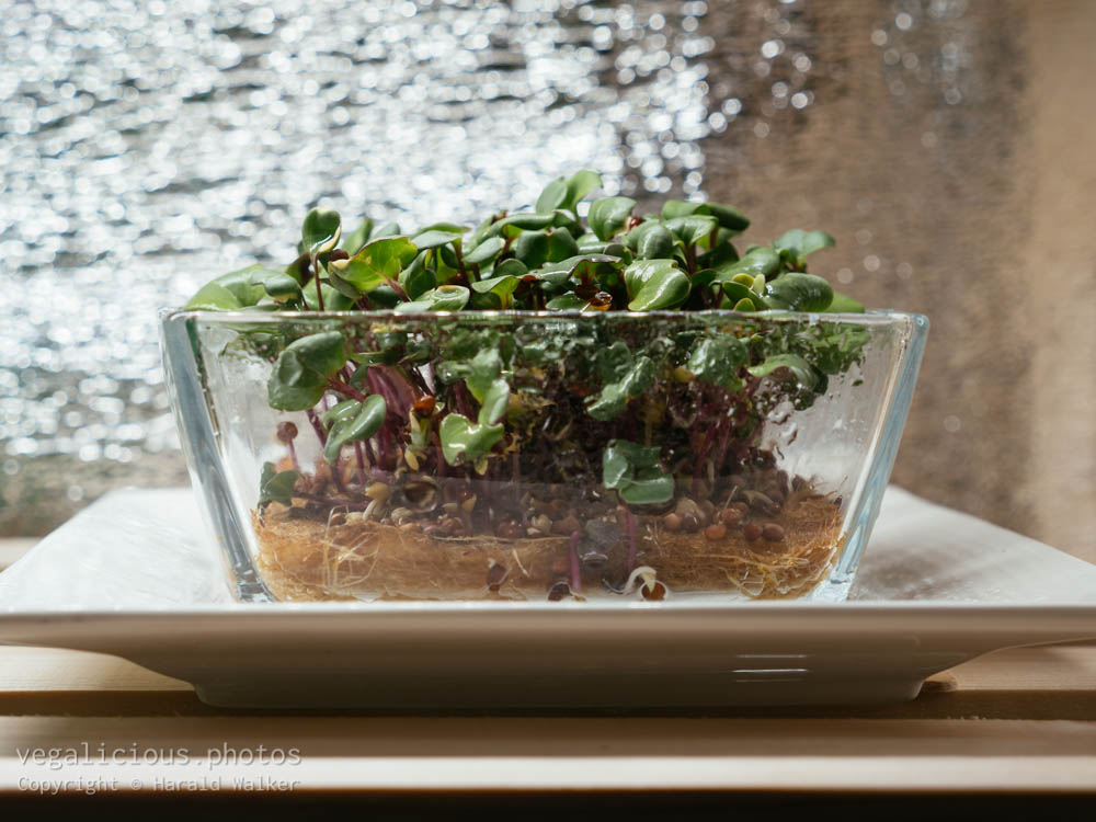 Stock photo of Radish sprouts