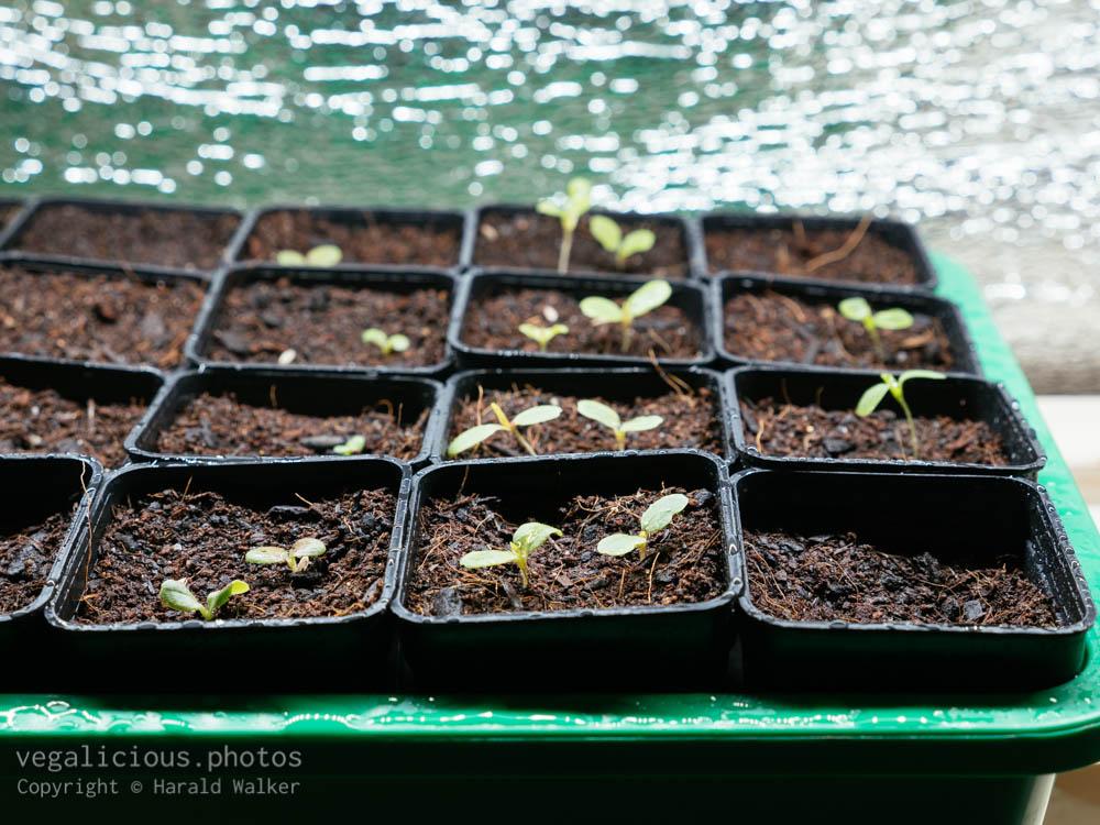 Stock photo of Lettuce seedlings
