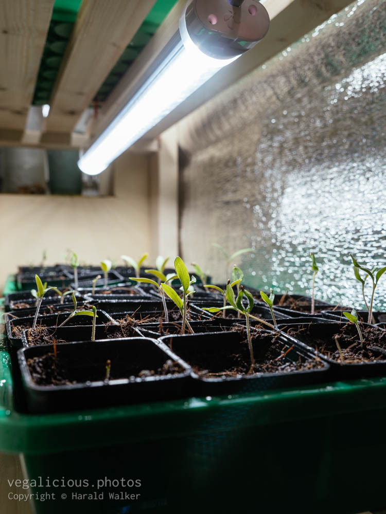 Stock photo of Tomato seedlings