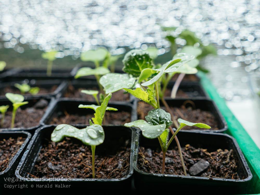 Stock photo of Bremer Scheerkohl seedlings