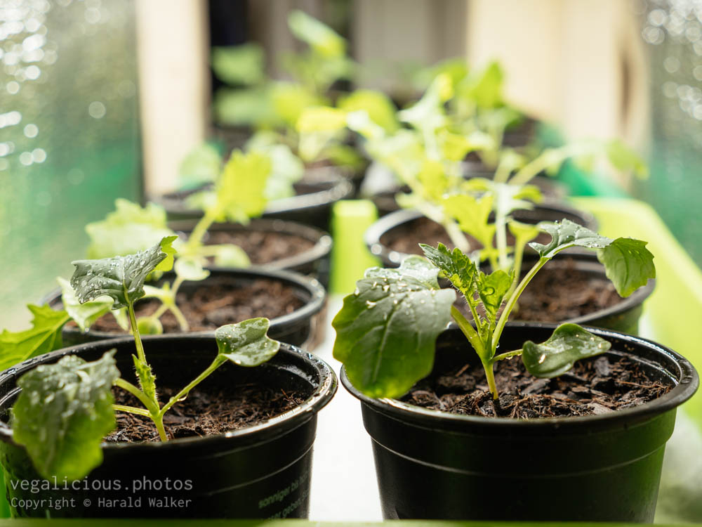Stock photo of Namenia and Siberian kale seedlings