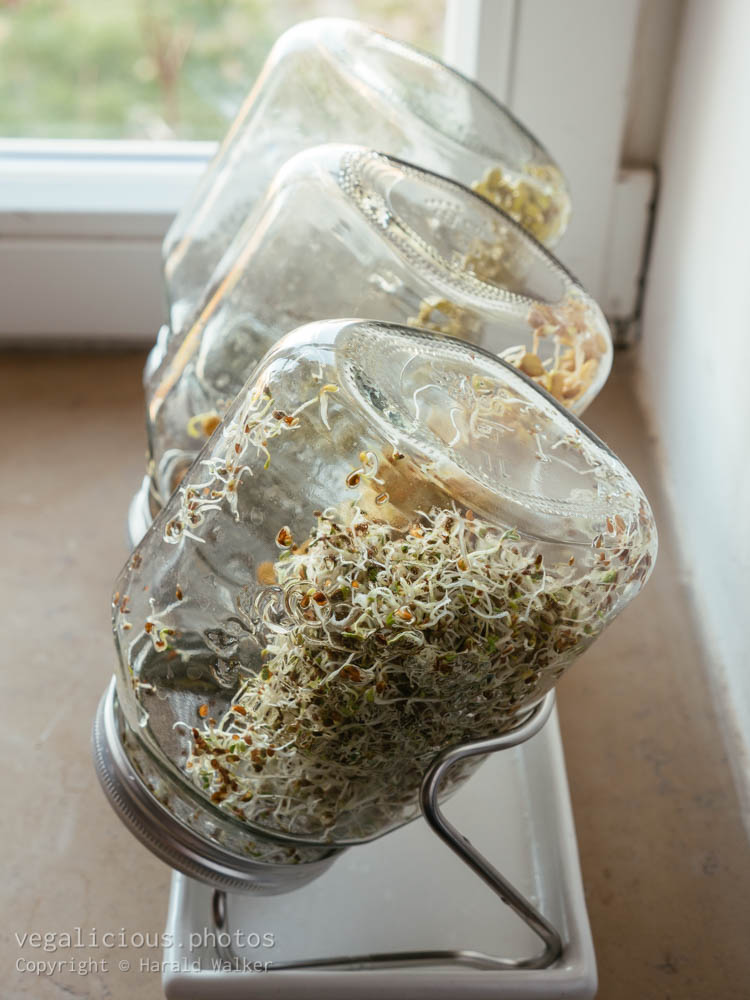 Stock photo of Sprouting jars