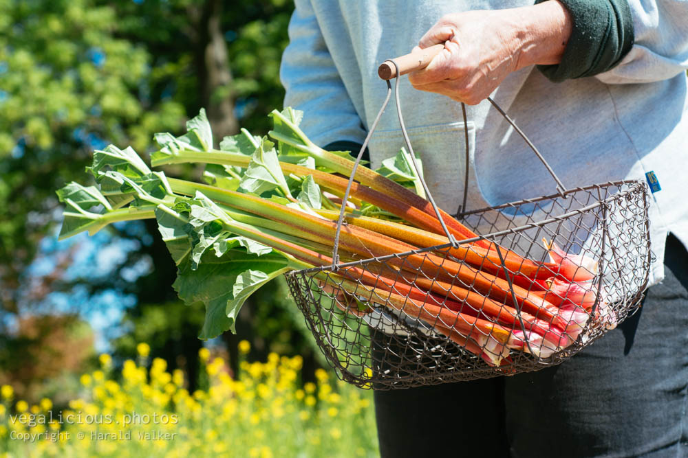 Stock photo of Rhubarb harvest