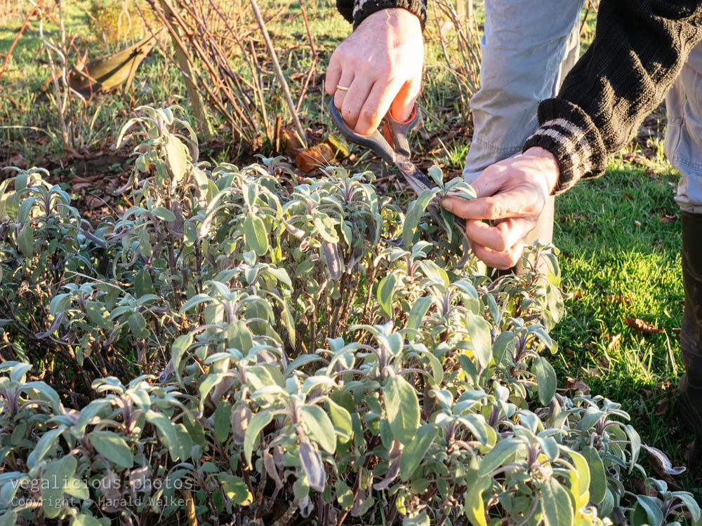 Stock photo of Harvesting sage leaves