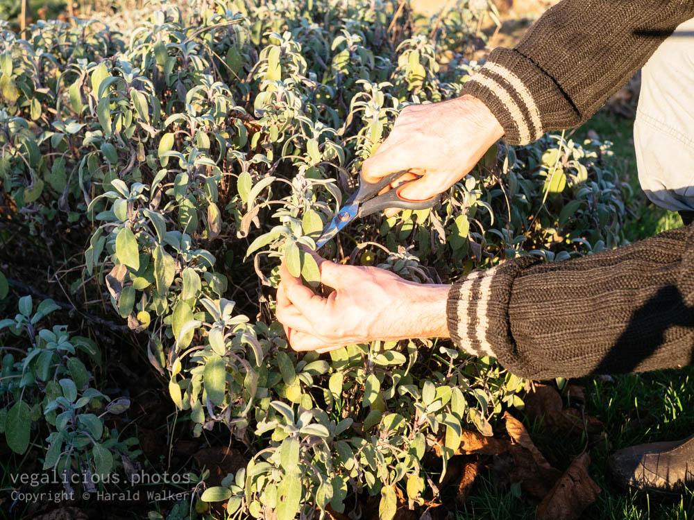 Stock photo of Harvesting sage leaves