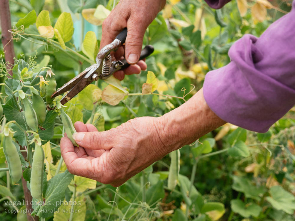 Stock photo of Harvesting peas