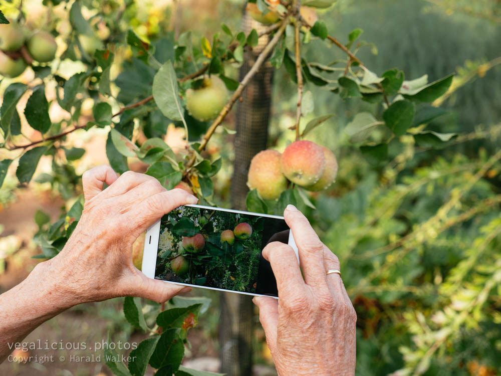 Stock photo of Taking a photo of apples