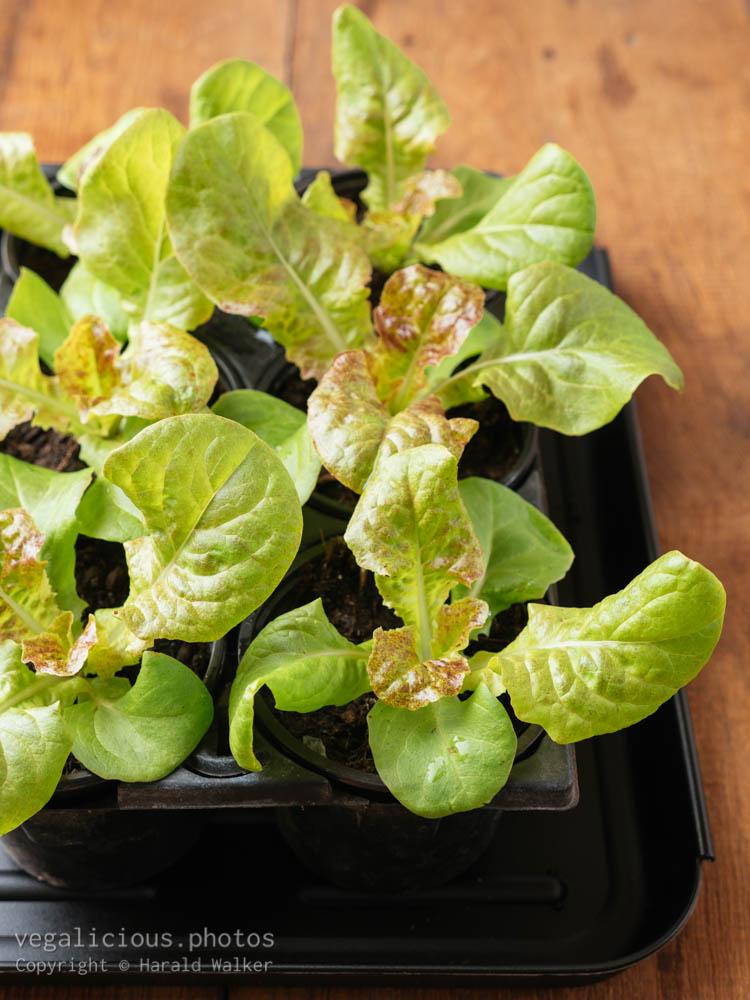 Stock photo of Leaf lettuce Seedlings