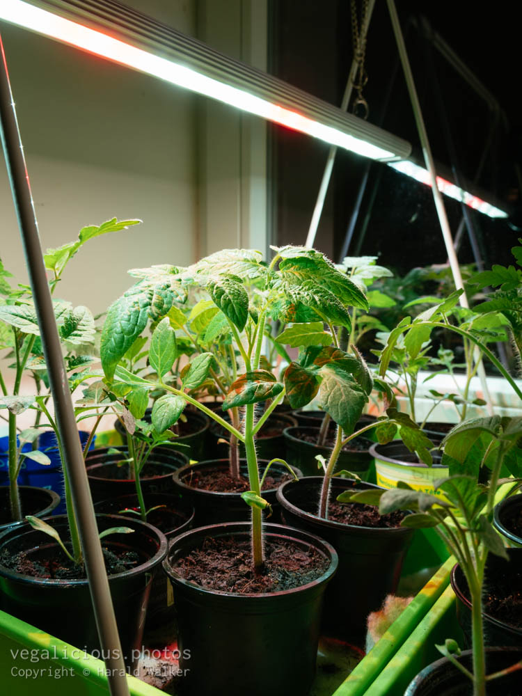 Stock photo of Tomato seedlings indoors