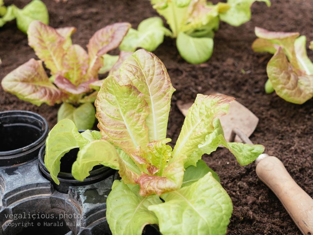 Stock photo of Leaf lettuce seedling