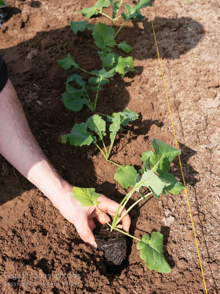 Stock photo of Planting Siberian kale
