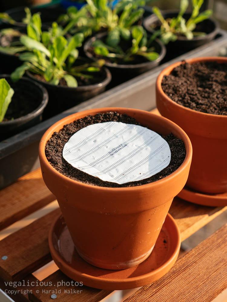 Stock photo of Seeding parsley