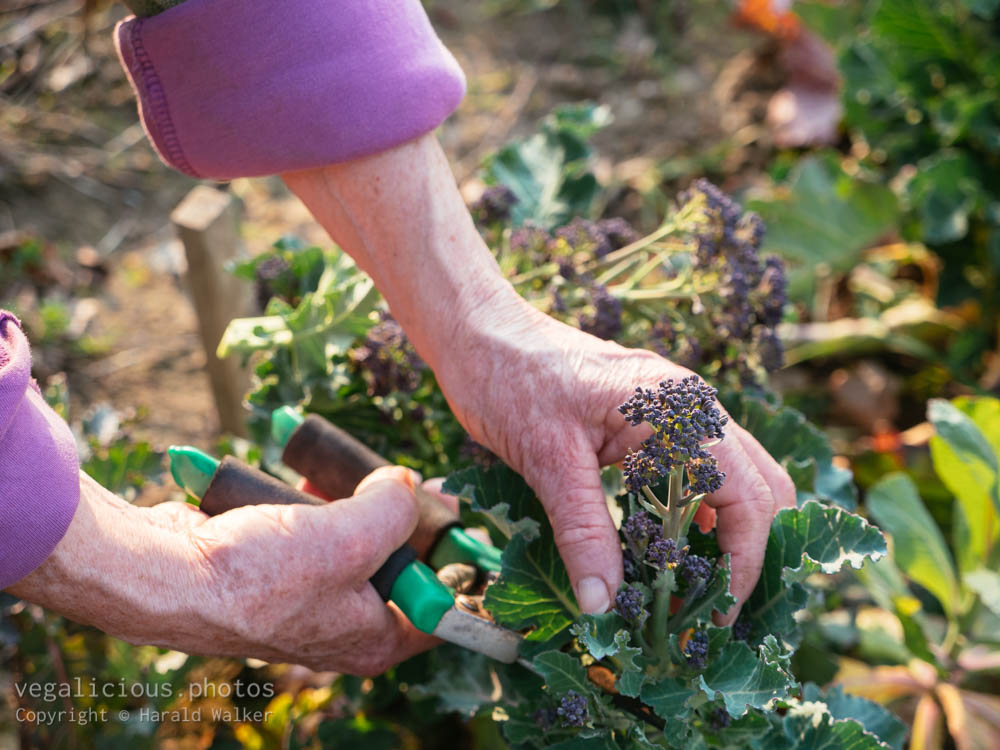 Stock photo of Harvesting Early Purple Sprouting Broccoli