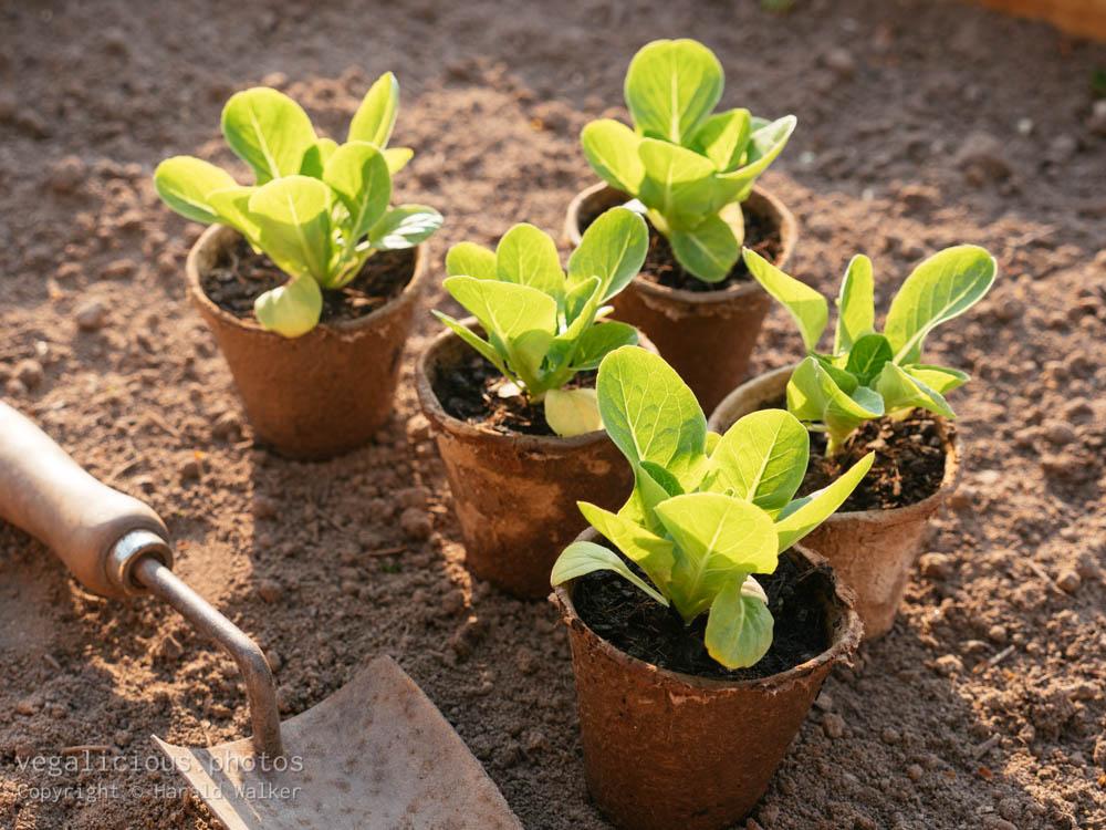 Stock photo of Romaine lettuce seedlings