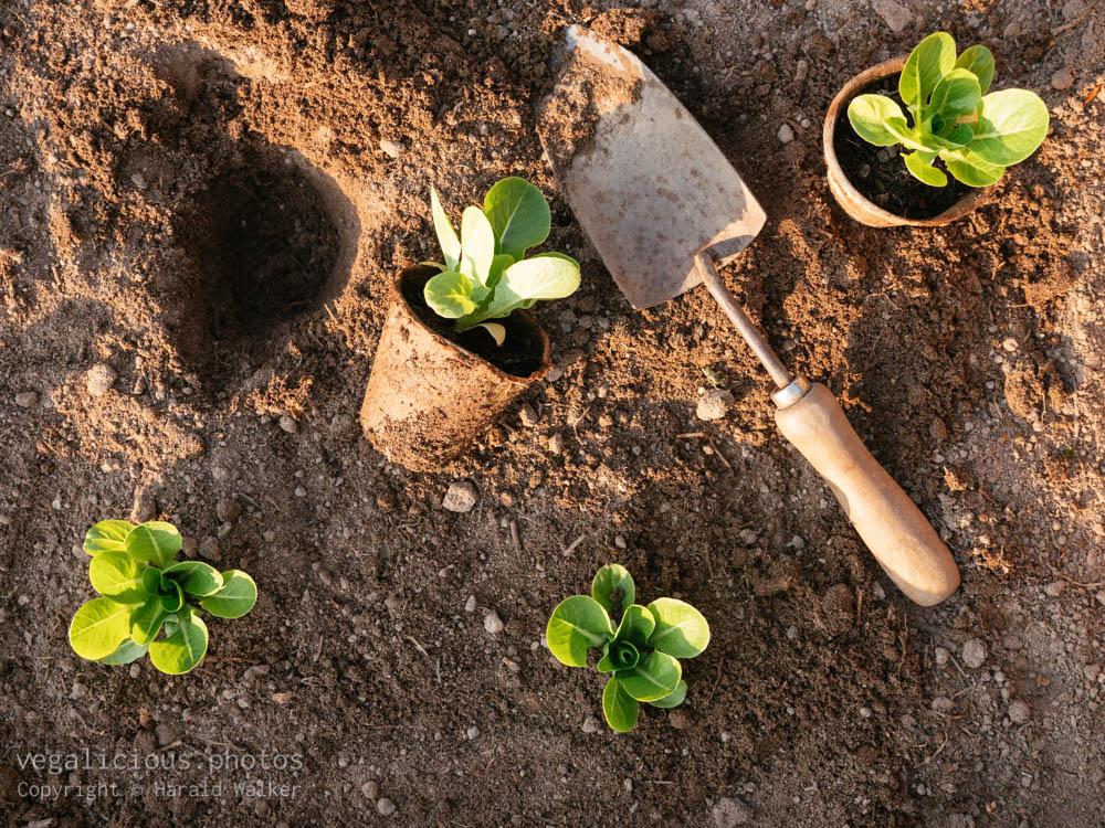 Stock photo of Planting romaine lettuce