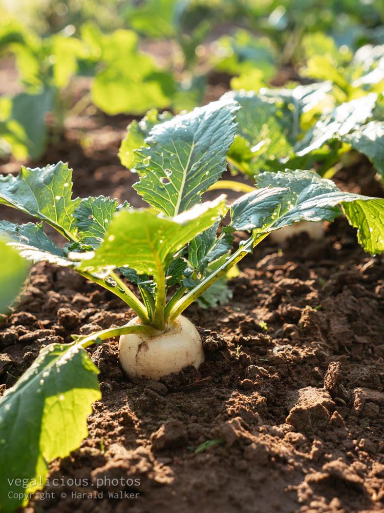Stock photo of May turnip