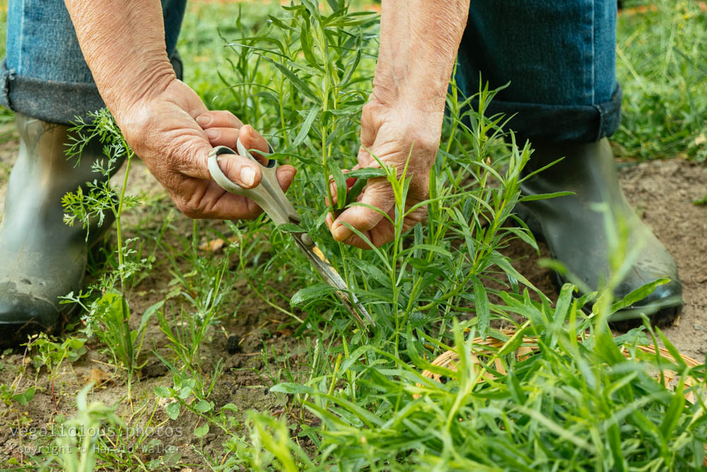 Stock photo of Harvesting Tarragon