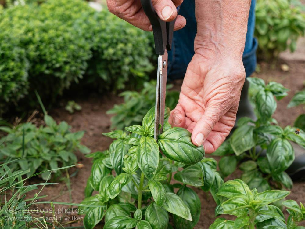 Stock photo of Harvesting fresh basil