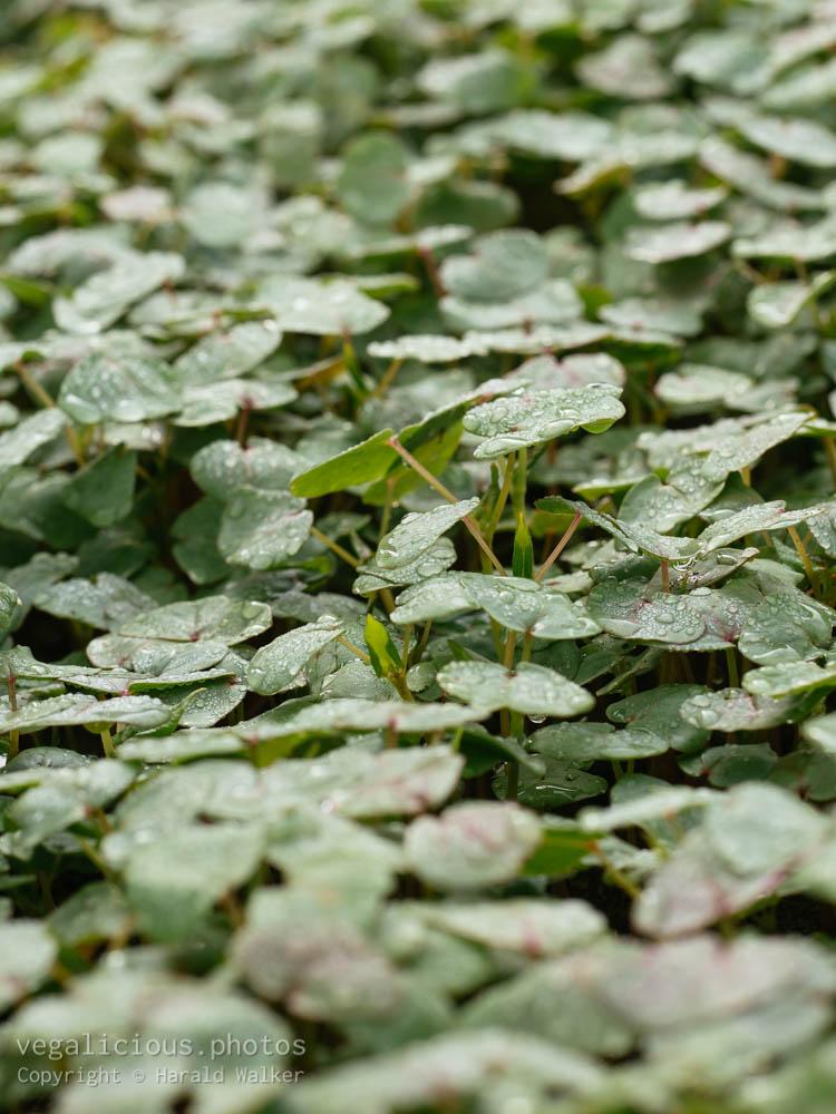 Stock photo of Buckwheat plants