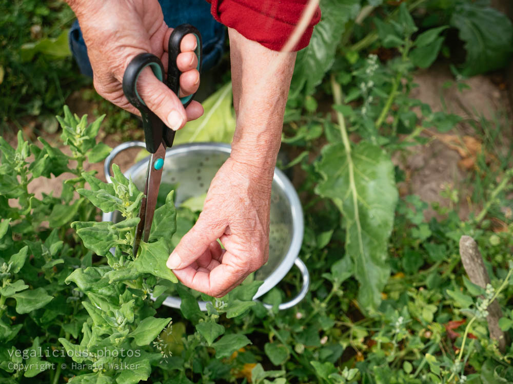 Stock photo of Harvesting spinach