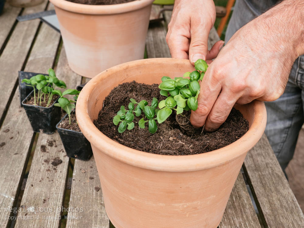 Stock photo of Transplanting basil