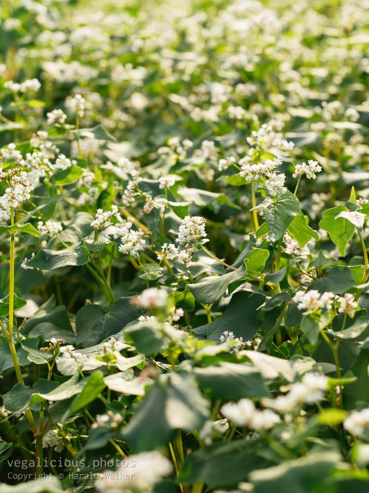Stock photo of Blooming buckwheat