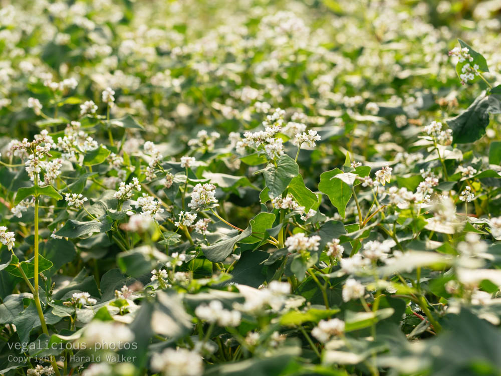Stock photo of Blooming buckwheat