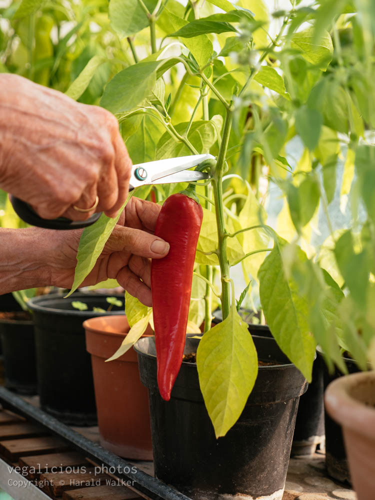 Stock photo of Harvesting a pepper