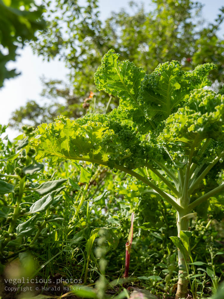 Stock photo of Growing kale
