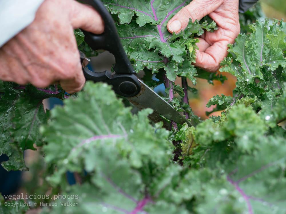 Stock photo of Harvesting Altmärker Braunkohl