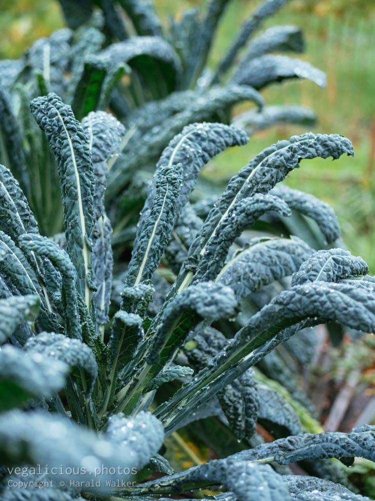 Stock photo of Kale 'Nero di Toscana'