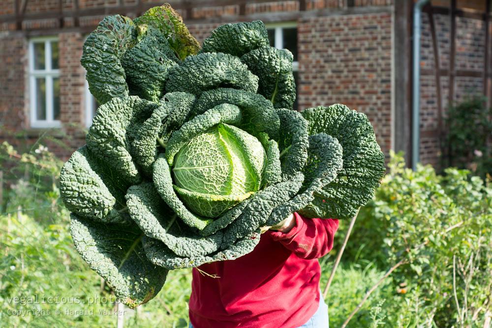 Stock photo of Large savoy cabbage