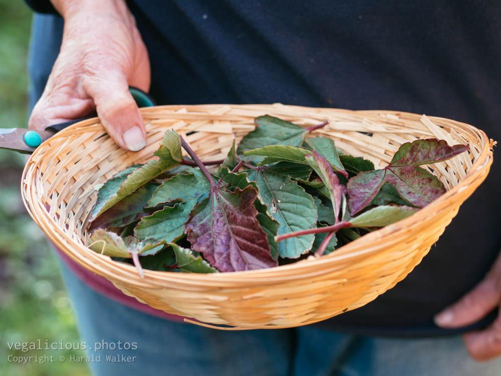 Stock photo of Roselle leaves