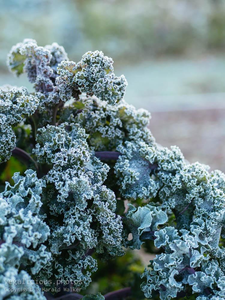 Stock photo of Lippischer Braunkohl with frost