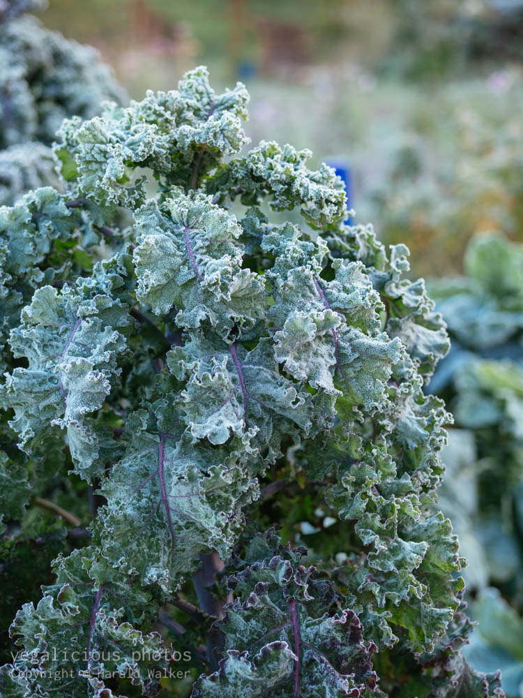 Stock photo of Lippischer Braunkohl with frost