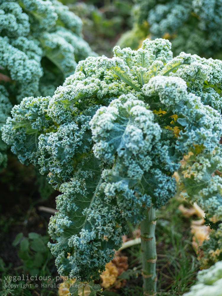 Stock photo of Kale with frost