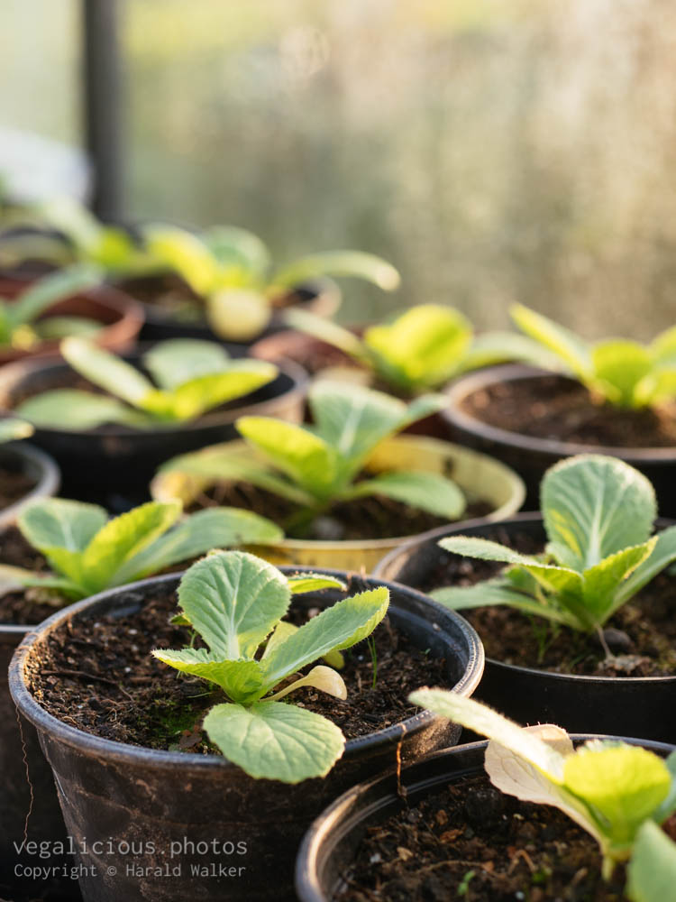 Stock photo of China cabbage seedlings