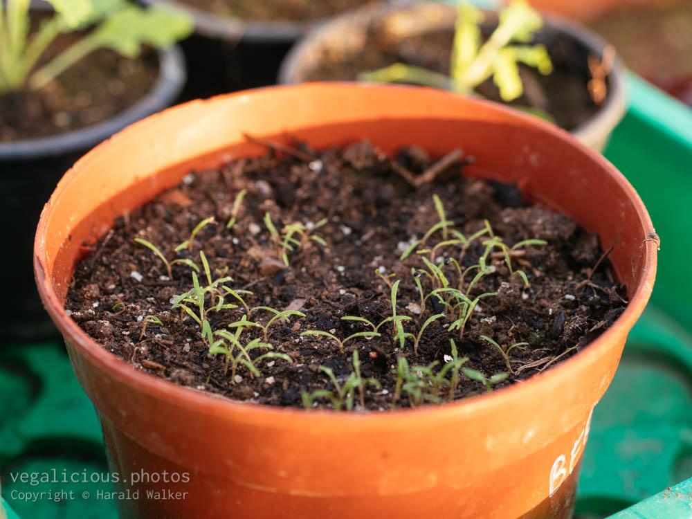 Stock photo of Winter purslane seedlings