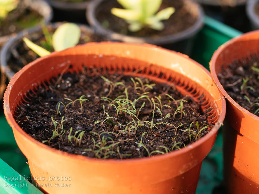 Stock photo of Winter purslane seedlings