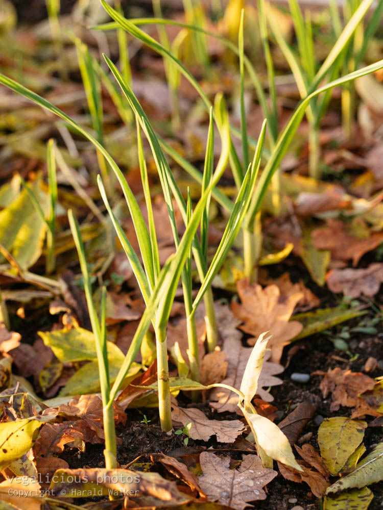 Stock photo of Garlic plants