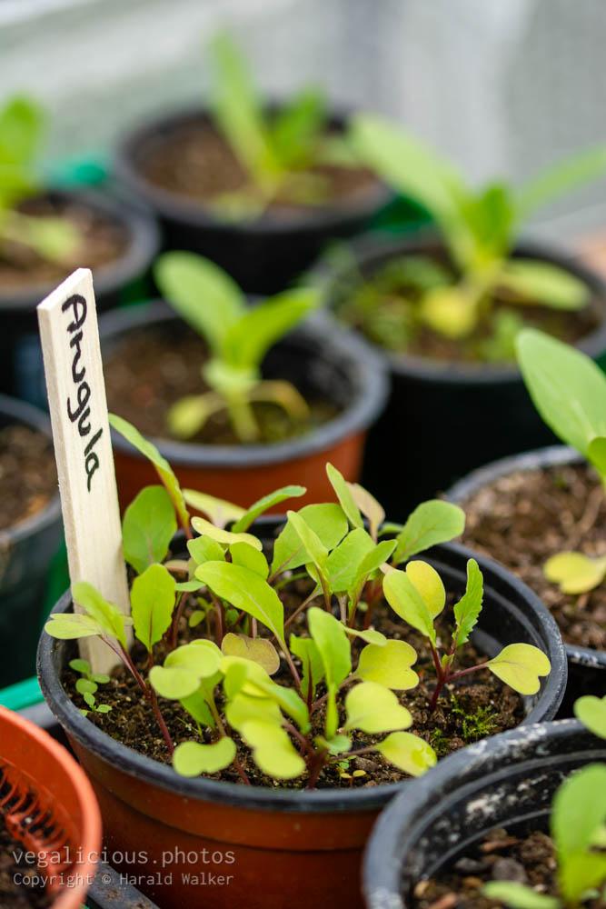 Stock photo of Growing arugula