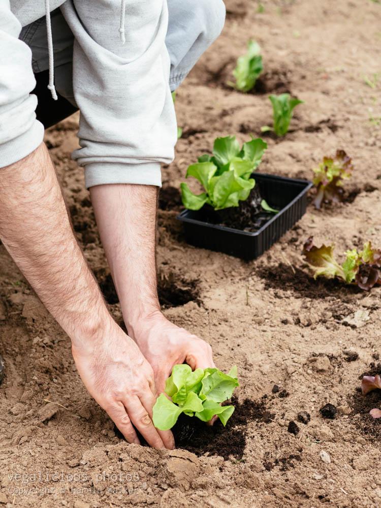 Stock photo of Planting lettuce seedlings