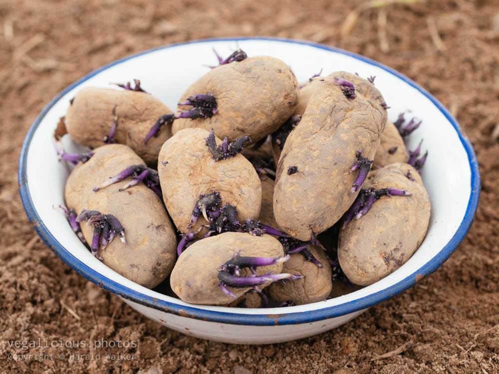 Stock photo of Purple potatoes