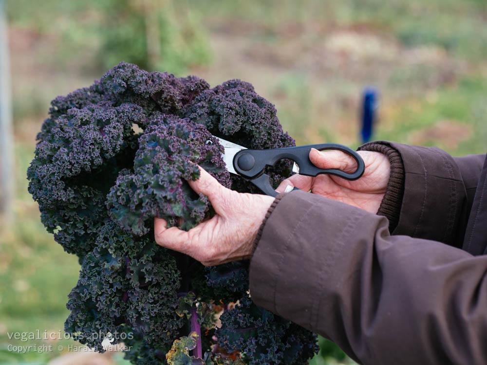 Stock photo of Harvesting Lippische Palme Kale