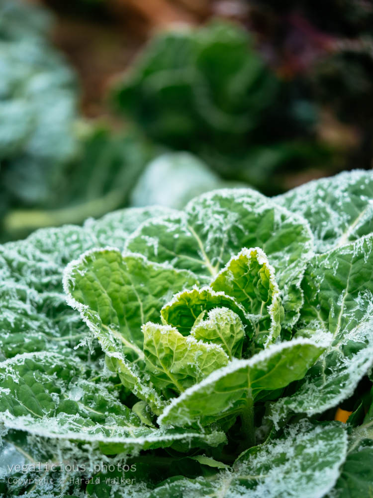Stock photo of Brussels sprouts plant with frost
