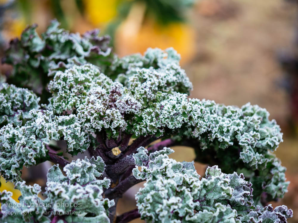 Stock photo of Lippische Palme with frost