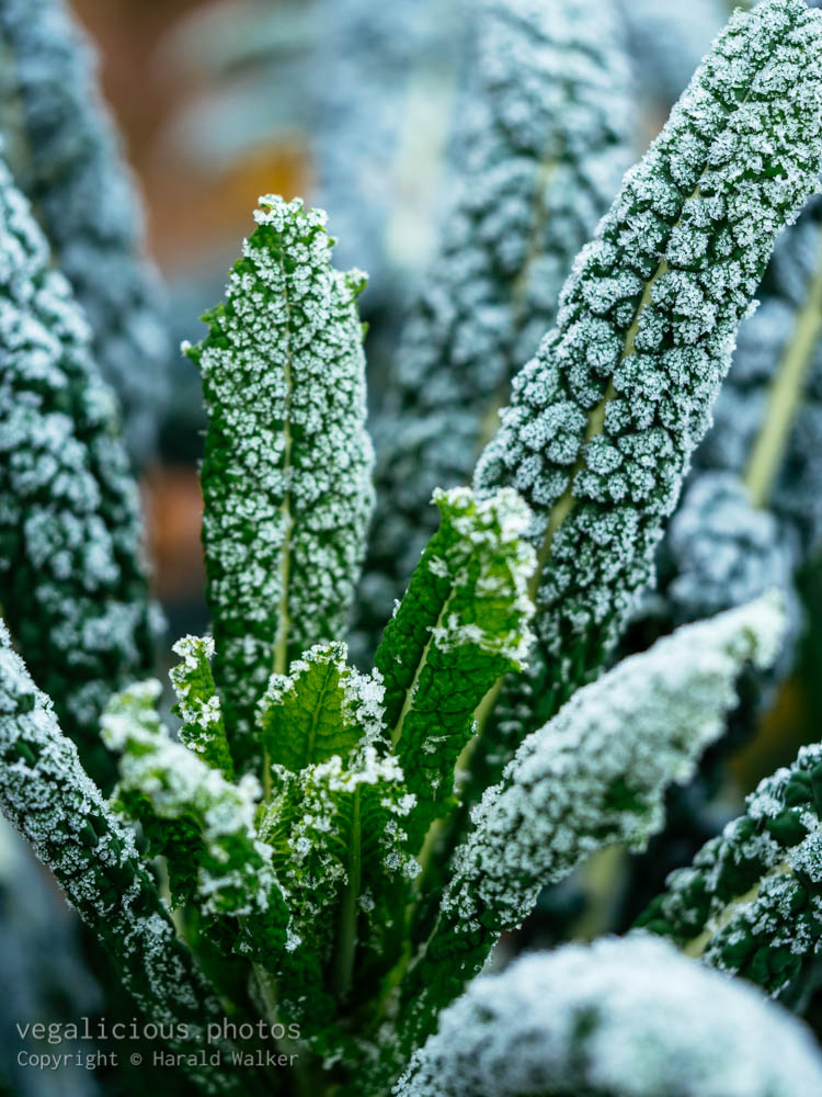 Stock photo of Nero Di Toscana with frost
