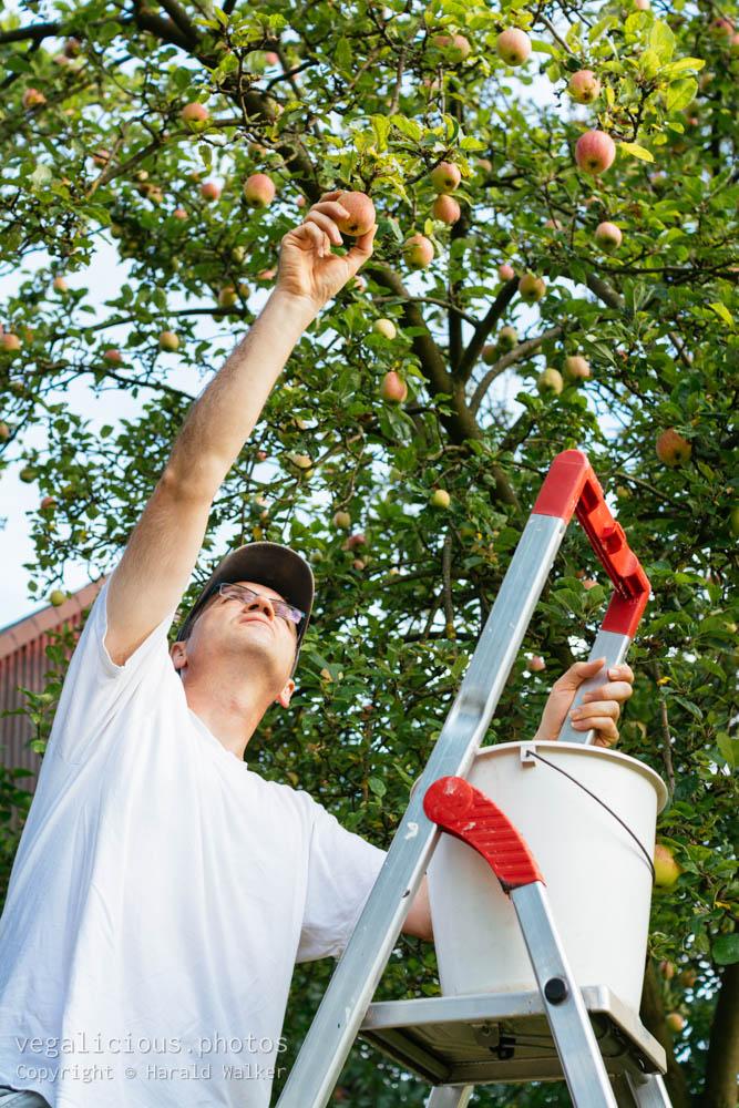 Stock photo of Harvesting apples