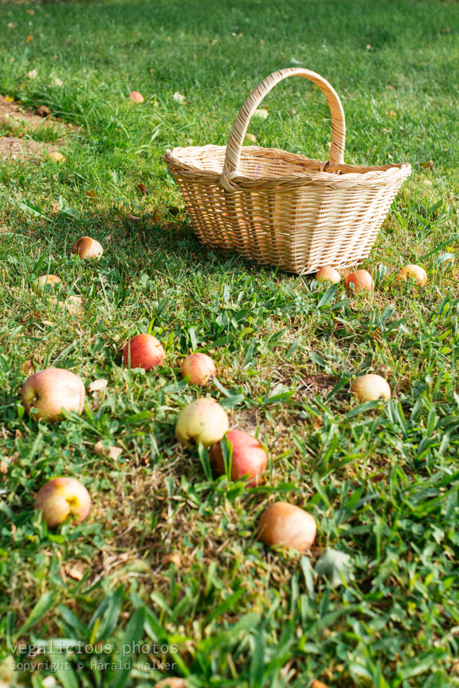 Stock photo of Windfall apples