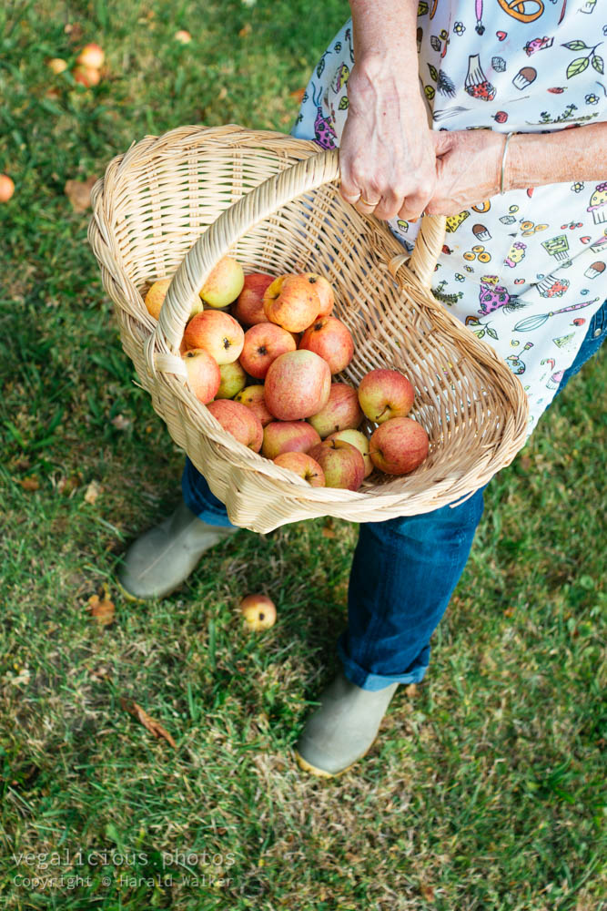 Stock photo of Collecting windfall apples